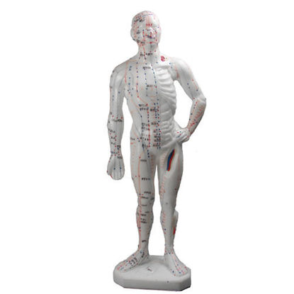 """Picture of Human Body Model, 10.2""""  (26cm)"""